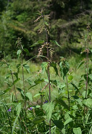 Urtica dioica - A stinging nettle growing in a field