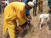 Vaccination of a goat