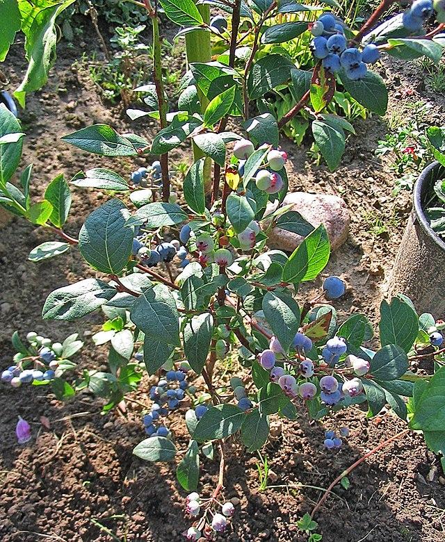 blåbær wiki