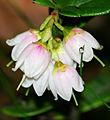 Vaccinium vitis-idaea - flowers.jpg