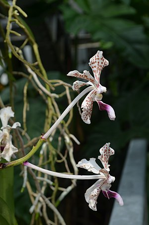 Vanda - Vanda denisoniana