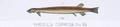 Vandellia cirrhosa - 1856 drawing.png