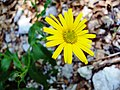 Velebit Yellow Flower.jpg
