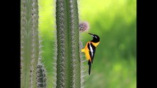 File:Venezuelan troupial eating cactus fruit.WebM