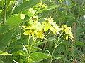 Verbesina alternifolia3.jpg