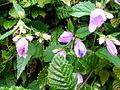 Verge flowers in a hedge 2.JPG