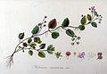 Veronica montana — Flora Batava — Volume v9.jpg