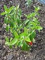 Viburnum japonicum (16710849474).jpg