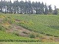 Vineyard near Monzel - geo.hlipp.de - 42979.jpg