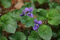 Viola cucullata