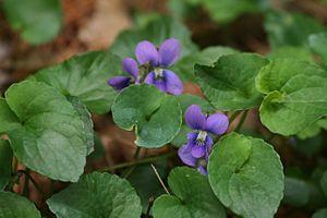 Viola cucullata - Image: Viola cucullata