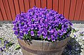 Viola tricolor in a tub.jpg