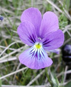 Viola tricolor (sous réserve)