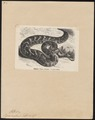 Vipera arietans - 1700-1880 - Print - Iconographia Zoologica - Special Collections University of Amsterdam - UBA01 IZ11700105.tif