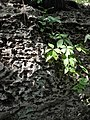 Virginia Creeper on stone.jpg