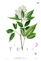 Vitex altissima Blanco1.227.png