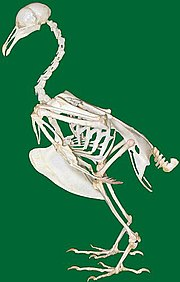 The skeleton of a dove.