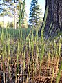 Vulpia octoflora (6244086456).jpg