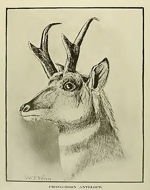 "W. J. Fenn - Pronghorn from Frank Stephens' ""California Mammals"""