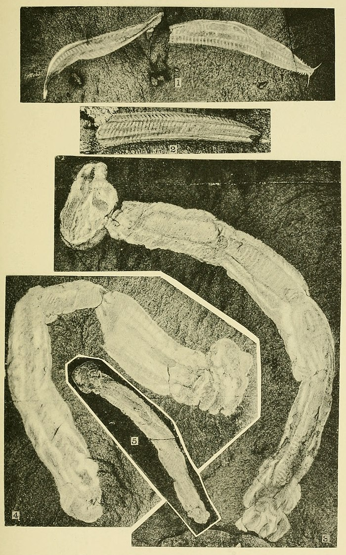 Walcott Cambrian Geology and Paleontology II plate 20.jpg