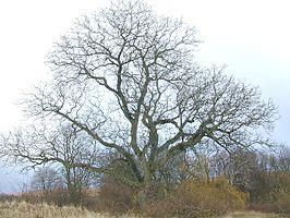 Oude okkernotenboom