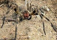 Wandering spider.jpg