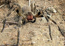 Brazilian wandering spider - Wikipedia, the free encyclopedia