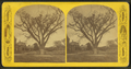 Washington elm, Cambridge, Mass, from Robert N. Dennis collection of stereoscopic views.png