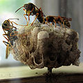 Wasps Building Nest 01.jpg