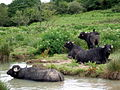 Water buffalo in the river - geograph.org.uk - 446962.jpg