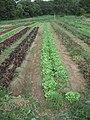 Weeding Lettuce (4858251381).jpg