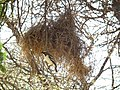 White-browed Sparrow-weaver Plocepasser mahali in Tanzania 1681 Nevit.jpg