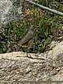 White-tailed Rubythroat (Luscinia pectoralis) (22989110074).jpg
