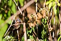 White-throated sparrow (36847598484).jpg