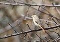 White-winged Redstart (Phoenicurus erythrogastrus) (33192250293).jpg