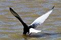 White-winged Tern (Chlidonias leucopterus) (8079452241).jpg