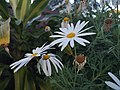White Daisy by the waysides.jpg