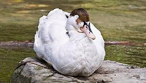 White duck, Canada
