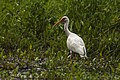 White Ibis - Texas - USA H8O5736 (15232030818) (2).jpg