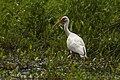 White Ibis - Texas - USA H8O5736 (15232030818) (2).jpg