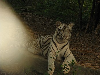 White Tiger Cooling Off in a Summer Evening. 11.jpg