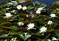 White Waterlilies, Lee Moor - geograph.org.uk - 1457070.jpg