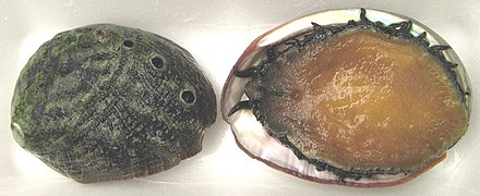 Two highly endangered white abalone: Prohibitions on commercial and recreational harvest of this species have been in place since 1996. White abalone Haliotis sorenseni.jpg