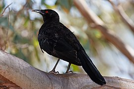 White winged chough jan09.jpg