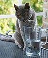 Whizzy - onze Brits korthaar 30-07-2010 19-27-46.jpg