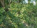 Wik Police Puszcza Wkrzańska Glistnik jaskółcze ziele (Chelidonium majus) SDC16513.JPG