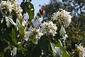 Wild jasmine.jpg