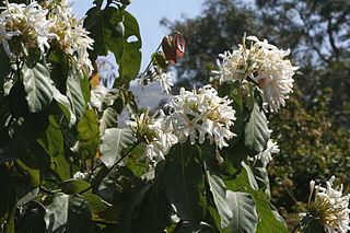<i>Jasminum angustifolium</i> Species of shrub