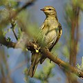 Willow warbler, Phylloscopus trochilus, at Marakele National Park, Limpopo, South Africa (45938427664).jpg