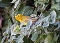 Wilson's warbler (15418852166).jpg